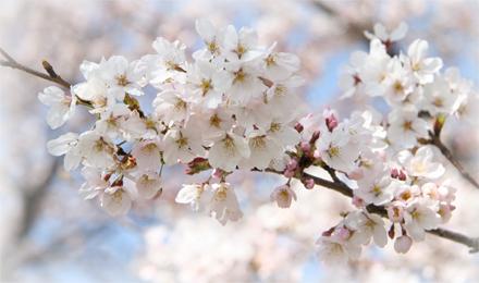 【空撮】桜名所百選 熊谷桜堤