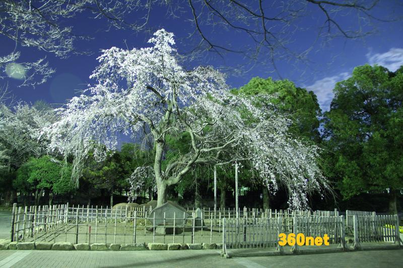 中央公園 祇園枝垂桜
