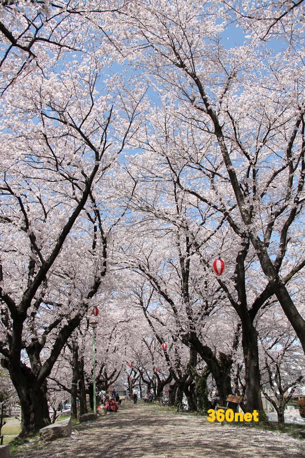 旧熊谷桜堤