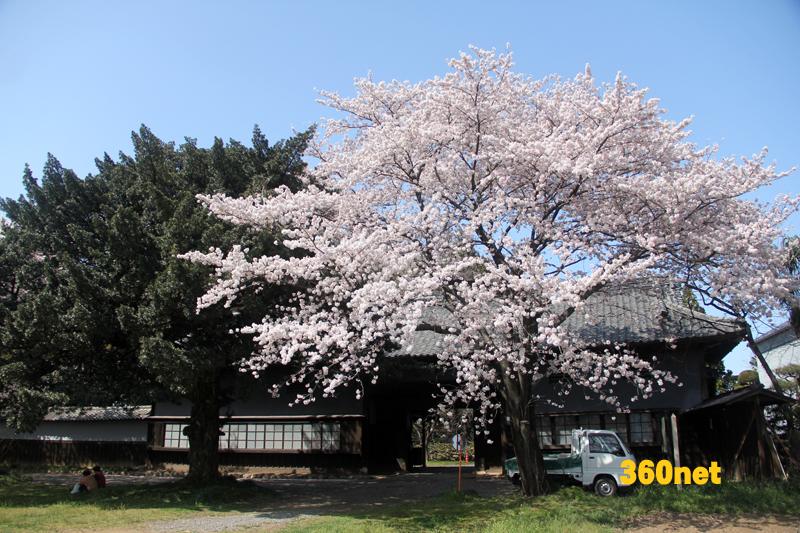根岸家 長屋門と桜