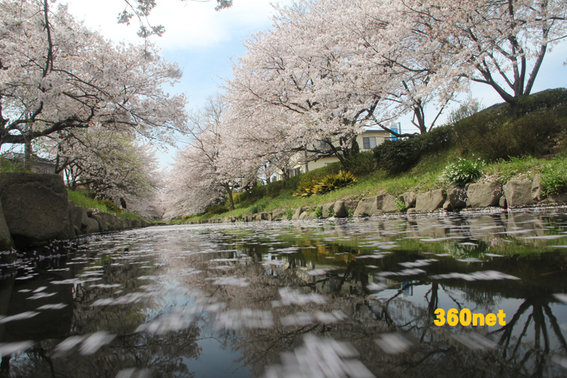 元荒川の桜
